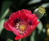 Corn Poppy Red Flower