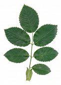 green leaf of wild rose bush in summer