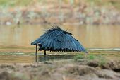 Black Egret In Classic Umbrella Hunting Position