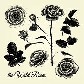 The Wild Roses - Hand Drawn Illustrations B&w