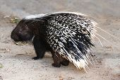 Porcupine Animal