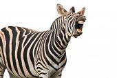 Shouting Or Laughing Zebra