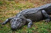 picture of alligator baby  - Alligator - JPG