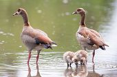 picture of baby goose  - Egyptian goose family go for a swim on their own in dangerous wild water - JPG