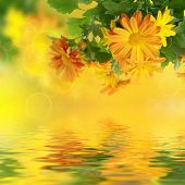 stock photo of chrysanthemum  - Chrysanthemum orange and yellow flowers with green leaaves and water reflection, floral background