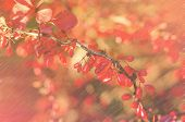 picture of barberry  - A branch of the ripe berries of barberry - JPG