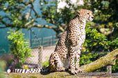 Cheetah Sitting