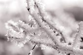 Branch With White Frost, Sepia