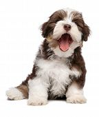 stock photo of newsboy  - Funny yawning chocolate and white colored havanese puppy dog is sitting isolated on white background - JPG