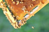 hardworking bees on honeycomb in apiary