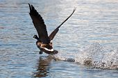 Canadian Goose Taking Off