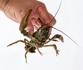 one live crayfish