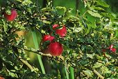 Large Red Apples On Apple Tree Branch