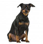 image of miniature pinscher  - miniature pinscher and chihuahua - JPG