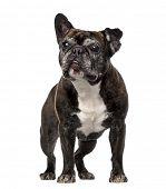 French Bulldog (7 years old)