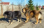 Two Dog Breed Tibetan Mastiff