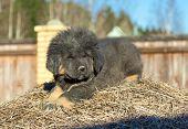 Puppy Breed Tibetan Mastiff