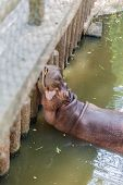 Hippo sleeping in the water