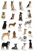 image of alsatian  - Dog breeds poster in English - JPG