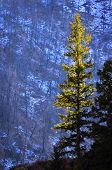 Detail in forest of pine tree in sunlight and snow