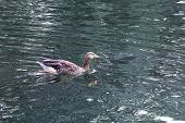 Goose Swimming In A River