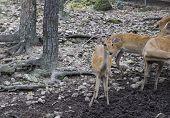 Female Deer In The Zoo