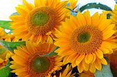 Beautiful Yellow Sunflowers Bouquet