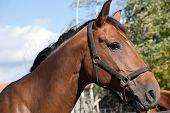 Bay Horse Profile Portrait