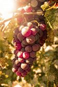 Freshly riped grapes