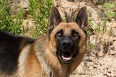 Close up of a German Shepherd Dog in a natural outdoor setting
