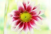 Beautiful chrysanthemum in sparkling water, close-up