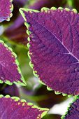 Coleus Close Up For Background