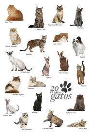 stock photo of american bombay  - Cat breeds poster in Spanish - JPG