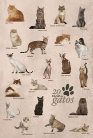 image of american bombay  - Cat breeds poster in Spanish - JPG