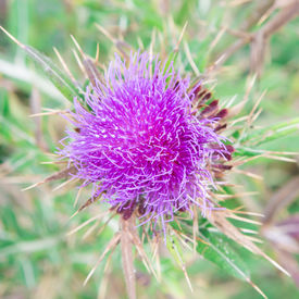 picture of scottish thistle  - Purple Milk Thistle in the forest at summer time - JPG
