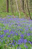 picture of harebell  - Beautiful landscape with Bluebell flowers in spring forest - JPG
