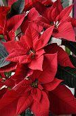 Christmas flower background