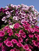 Pink Petunias On Sky