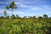foto of saw-palmetto  - Saw Palmetto in Big Cypress National Preserve - JPG