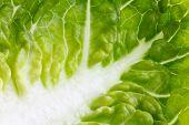 Extreme detail of gem lettuce.