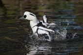 Smew duck splashing