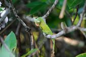 image of chameleon  - Green chameleon at tree branch in Sri Lanka - JPG
