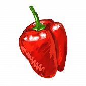 red pepper Vector illustration  hand drawn  painted watercolor