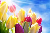 Close Up Of Sunny Tulip Flower Meadow With Copy Space And Blue Sky