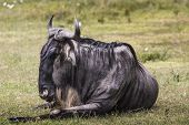 foto of wildebeest  - A Wildebeest mother and newly born calf Ngorongoro Crater Tanzania - JPG