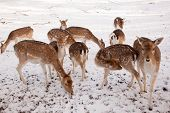 Female Fallow Deer And Young Animals In Winter Time