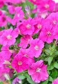 Pink Petunia Flowers In Garden