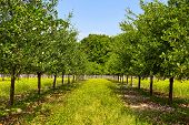 stock photo of orchard  - Summer landscape with an unripe plum trees orchard - JPG