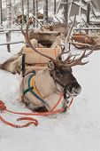 stock photo of laplander  - Christmas deer lying in the snow in a sleigh in Lapland - JPG
