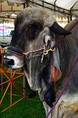image of zebu  - Black cow in a contest for animals. ** Note: Soft Focus at 100%, best at smaller sizes ** Note: Visible grain at 100%, best at smaller sizes - JPG